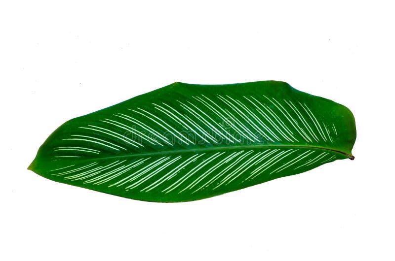 叶子Calathea ornata别针条纹背景白色孤立 免版税库存照片