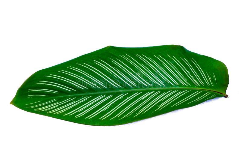 叶子Calathea ornata别针条纹背景白色孤立 库存照片