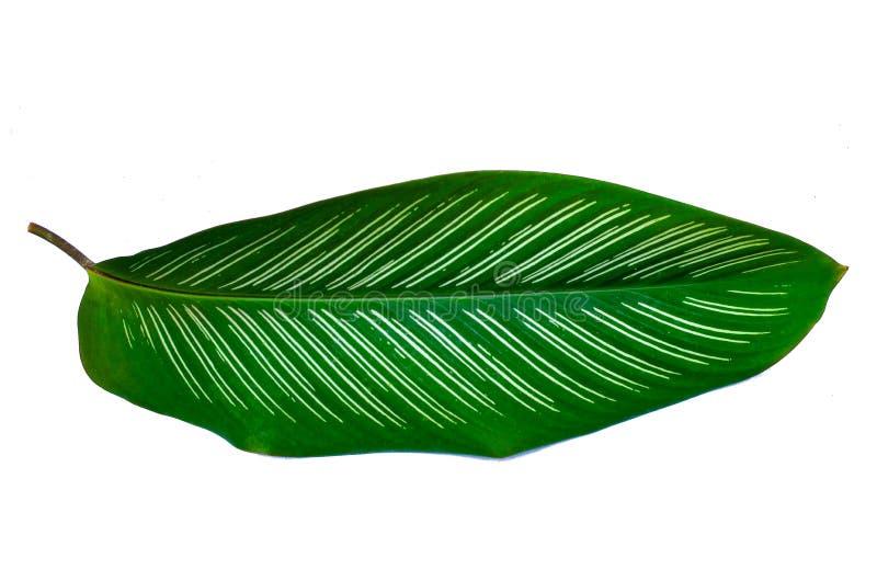 叶子Calathea ornata别针条纹背景白色孤立 免版税图库摄影