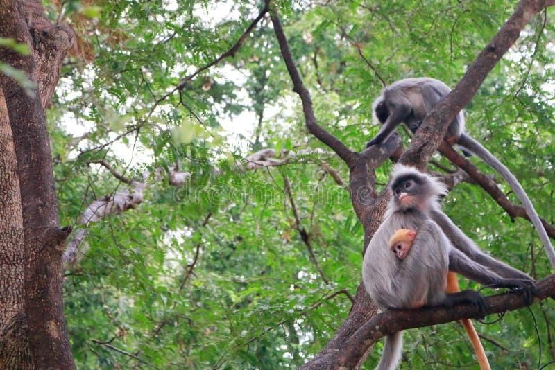 叶猴或叶子猴子家庭  图库摄影
