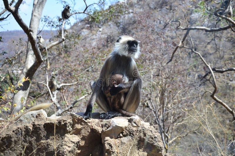 叶猴 免版税图库摄影