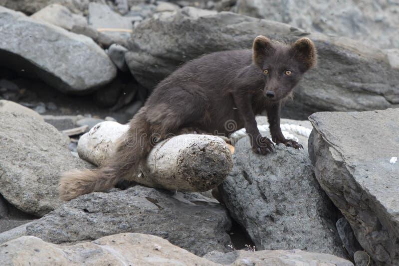 司令员蓝色白狐jn的哺乳的女性C 免版税库存照片