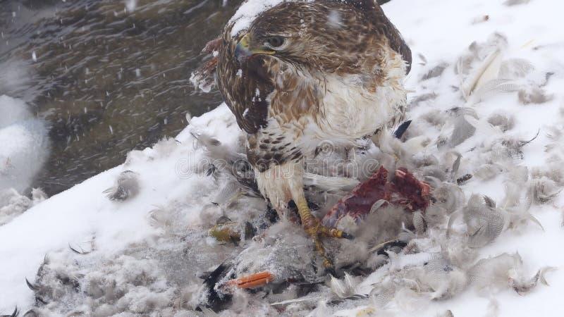 吃一个被寻找的鸭子斯诺伊冬天的红被盯梢的鹰 库存图片