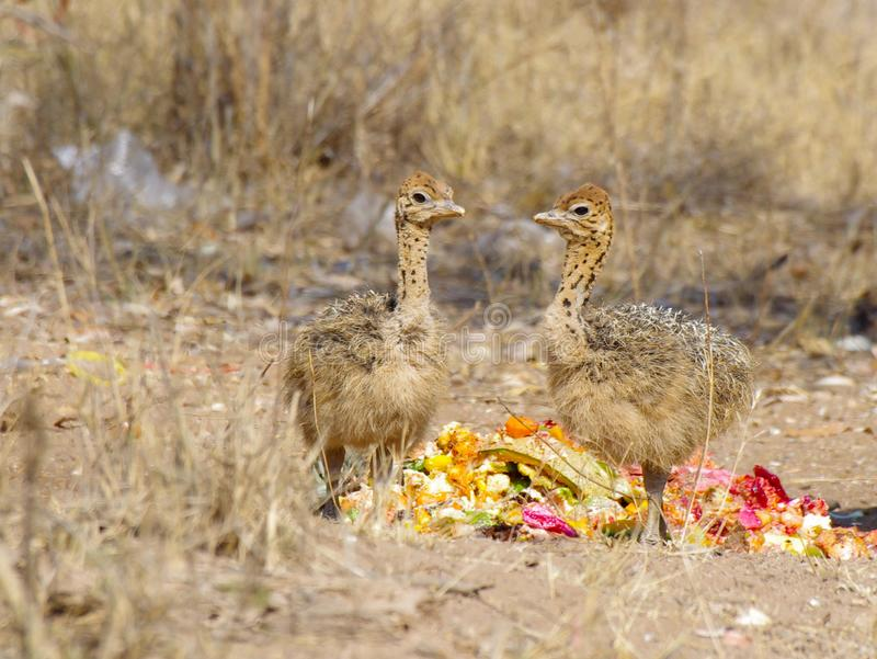 吃一些果子残羹剩饭的两只驼鸟小鸡 图库摄影