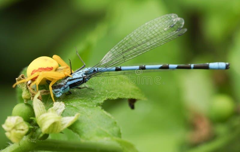 吃一共同的蓝色蜻蜓Enallagma cyathigerum的一黄色螃蟹蜘蛛Misumena vatia 库存照片