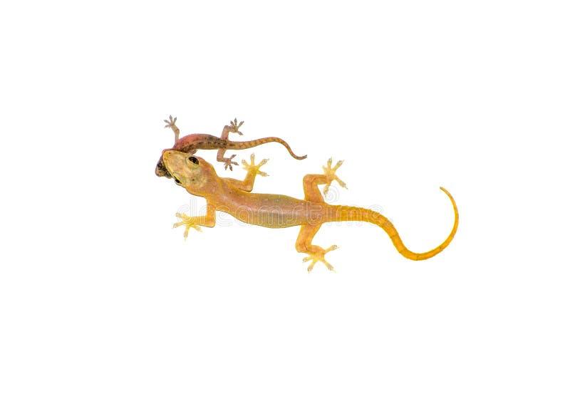 吃一只更小的壁虎的亚洲议院壁虎hemidactylus隔绝在白色背景 免版税库存图片
