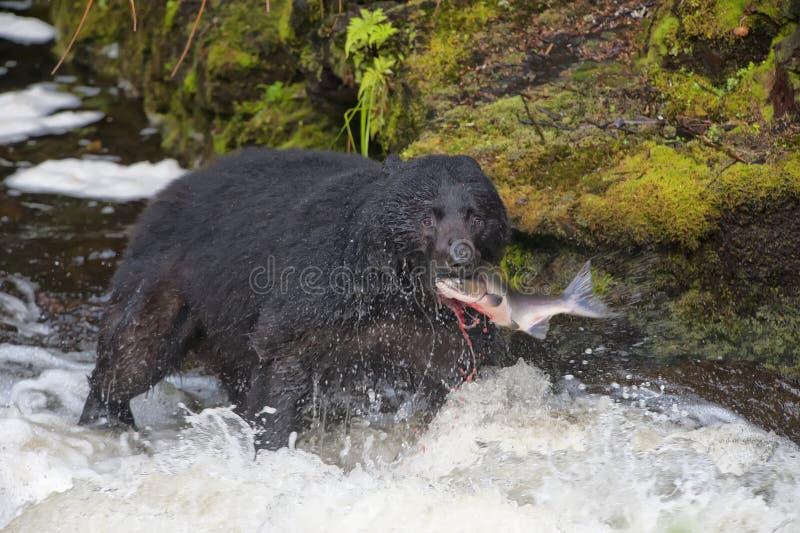 吃一条三文鱼的一只黑熊在有飞溅和血液阿拉斯加快餐的一条河 库存图片