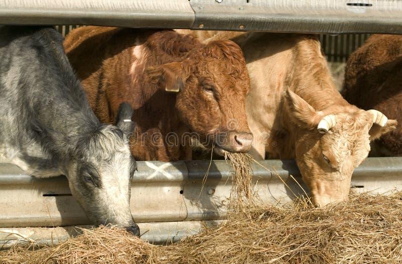 吃三的母牛 免版税库存图片