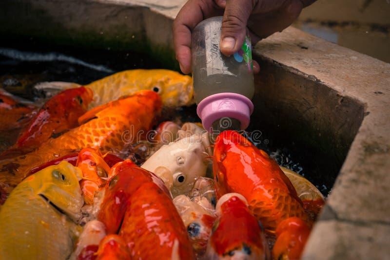 吃与乳瓶的花梢鲤鱼食物 免版税图库摄影