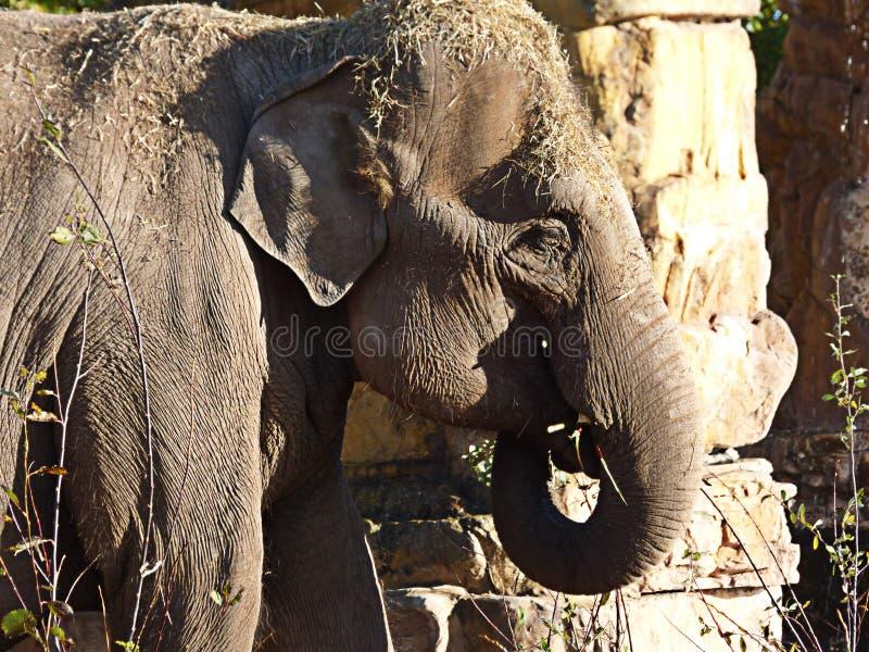 吃与它的树干的大象 库存照片
