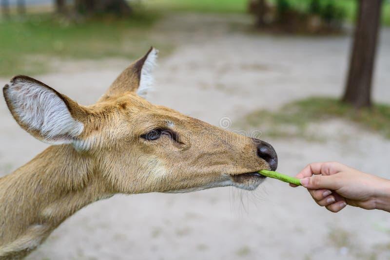 吃与柔光的羚羊长的豆 库存图片