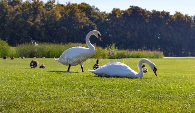 吃与鸭子的白色天鹅草在绿色夏天公园 狂放的鸟概念 免版税图库摄影