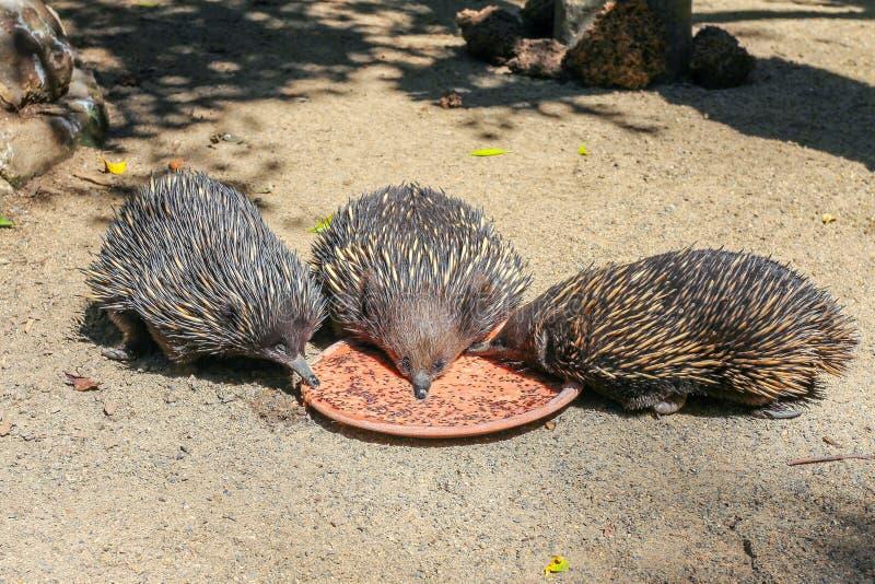 吃从一块板材,悉尼,澳大利亚的三只针鼹 免版税库存图片