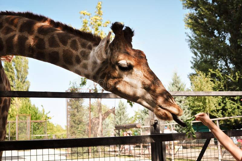 吃从人的手的非洲长颈鹿菜 动物野生生物概念 免版税图库摄影
