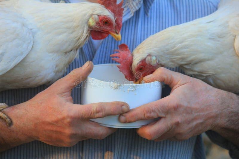 吃从手的母鸡 库存图片