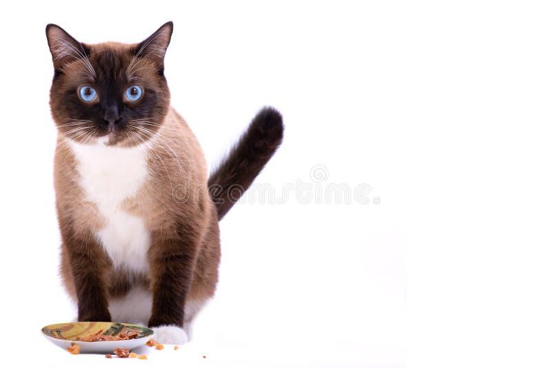 吃从碗的画象褐色雪靴暹罗猫食物,隔绝在白色 免版税库存图片