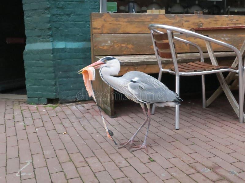 吃从鱼贩子的苍鹭三文鱼在一个市场上在阿姆斯特丹 库存图片