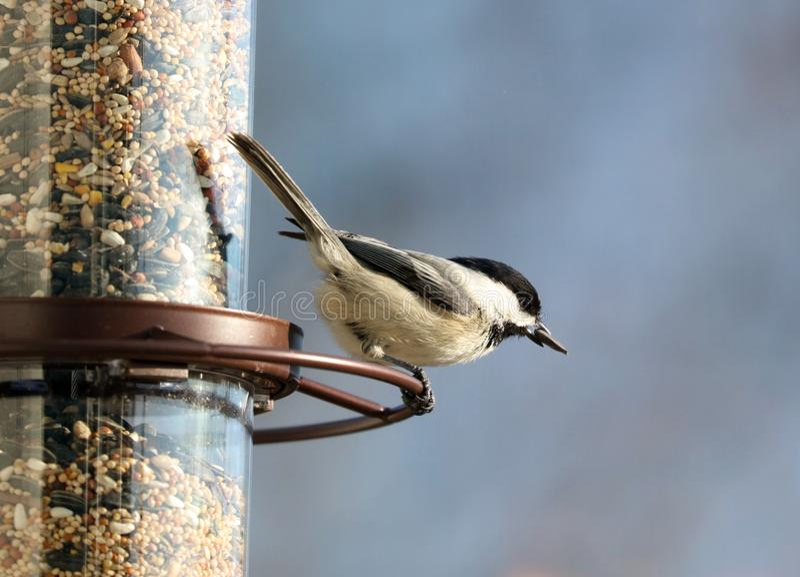 吃从鸟种子饲养者的卡罗来纳州山雀美丽的五颜六色的鸟种子在夏天期间在密执安 免版税库存图片
