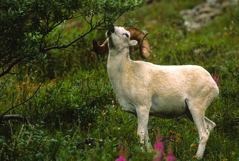 吃公羊绵羊的dall 免版税库存图片