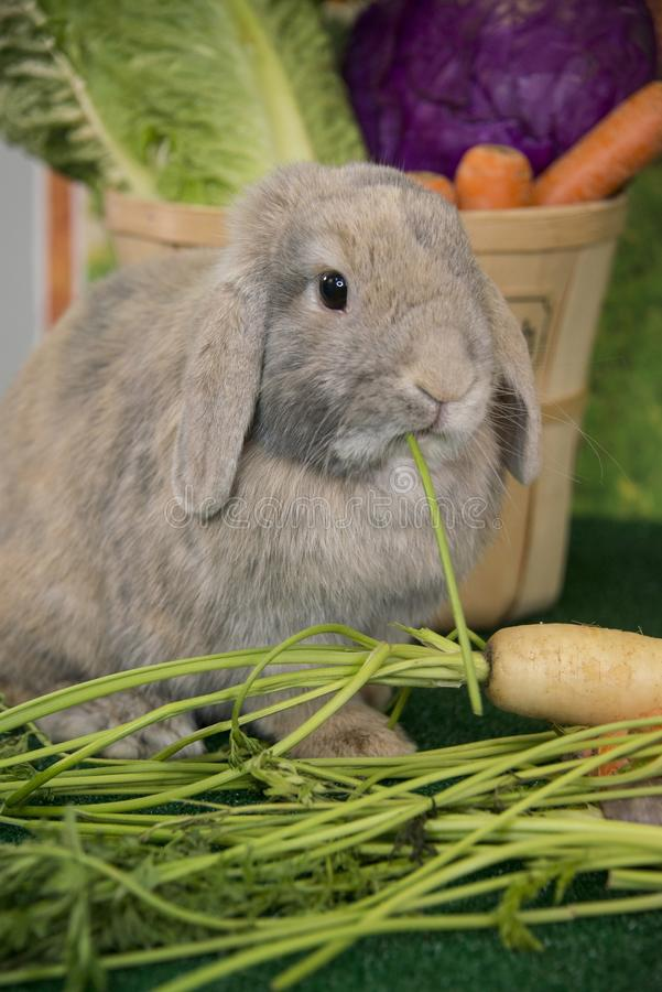 吃农厂新鲜的红萝卜和色的复活节彩蛋的复活节兔子红色Thrianta兔子 免版税库存图片