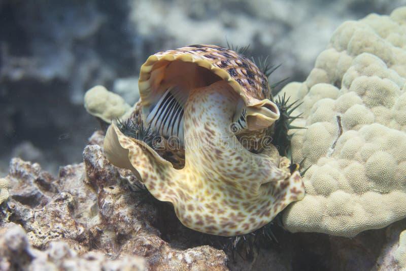 吃冠刺海星的Triton's喇叭 免版税图库摄影