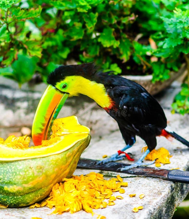 吃南瓜的Toucano门卡在哥伦比亚 免版税库存照片