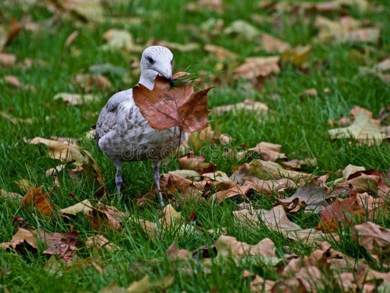 吃叶子的幼小鸥 免版税库存照片