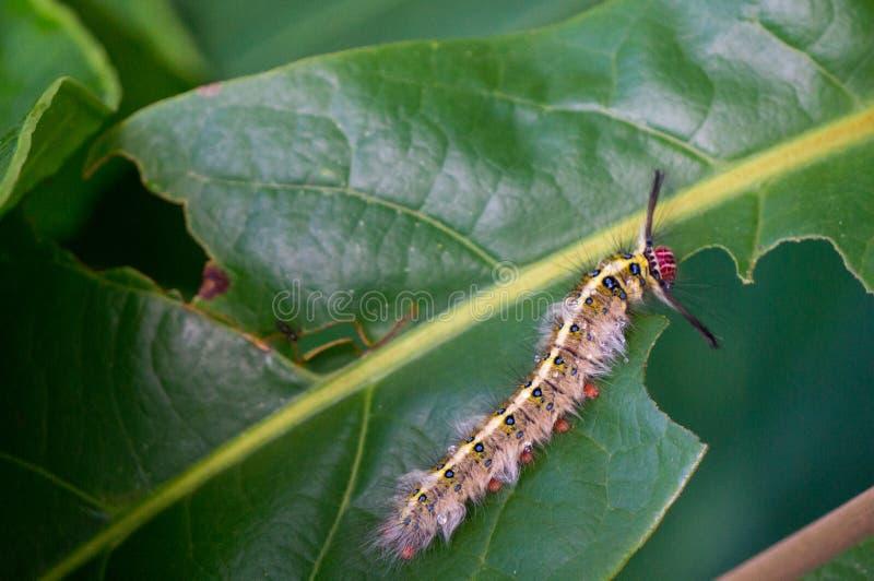吃叶子的毛虫 免版税库存图片