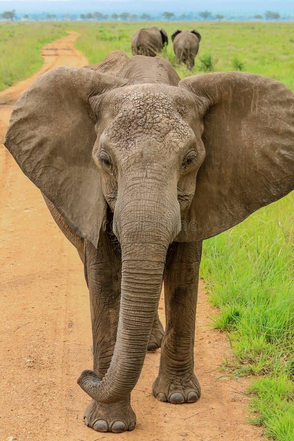 吃叶子的狂放的非洲大象 免版税库存照片