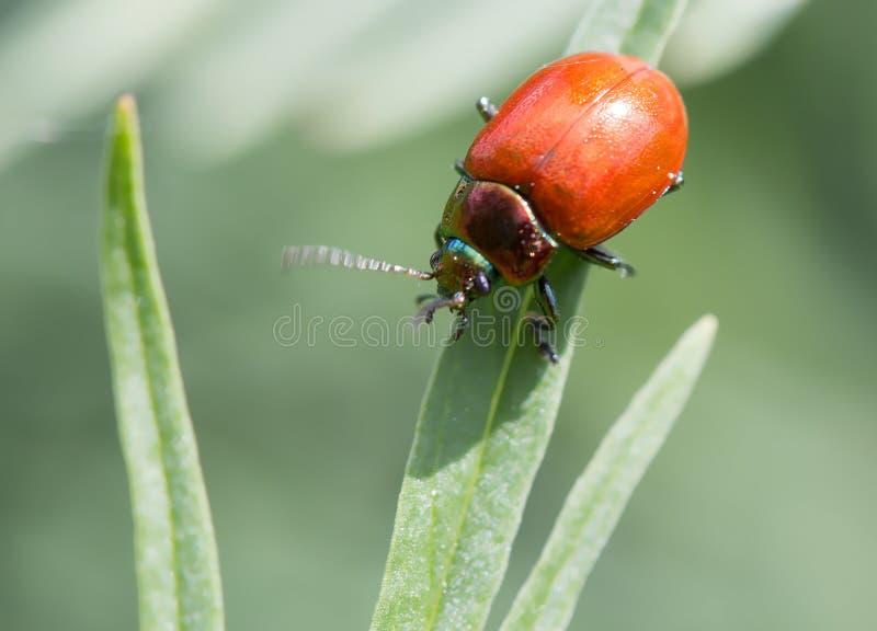 Download 吃叶子的红色甲虫 库存照片. 图片 包括有 关闭, 节肢动物, 有机体, 无脊椎, 象鼻虫, 叶子, 敌意 - 72353558