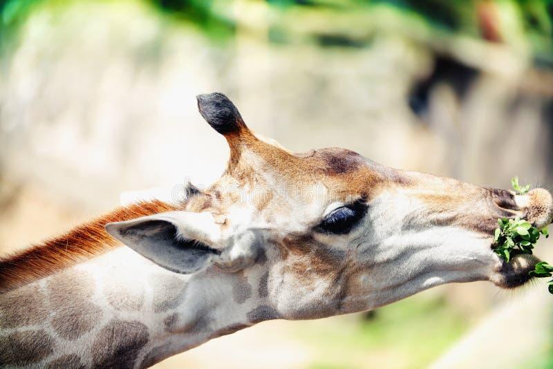 吃叶子的长颈鹿 库存照片