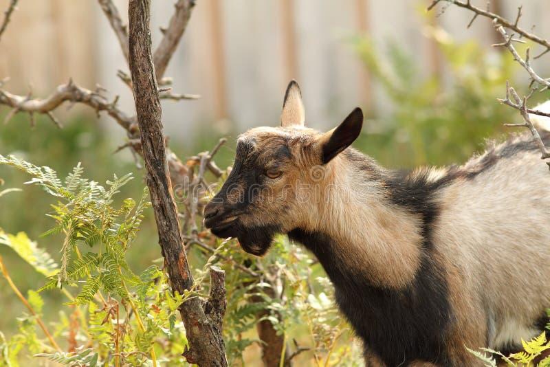 吃吠声的灰色山羊 免版税库存照片