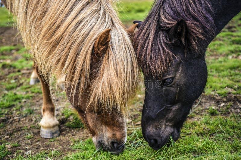 吃在一个草甸的两匹马草在冰岛 免版税库存照片