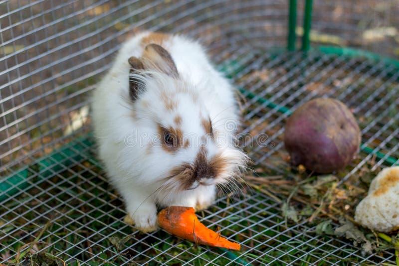 吃在一只笼子的一只美丽的白色蓬松兔子一棵红萝卜在farm_ 免版税库存图片