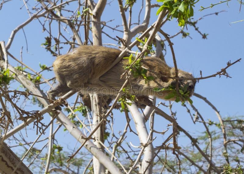 吃在一棵树的岩石非洲蹄兔在恩戈地在以色列 免版税库存照片