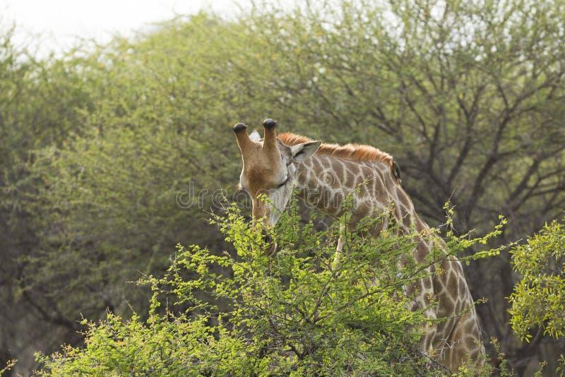 吃在克鲁格公园南非的长颈鹿 免版税库存照片