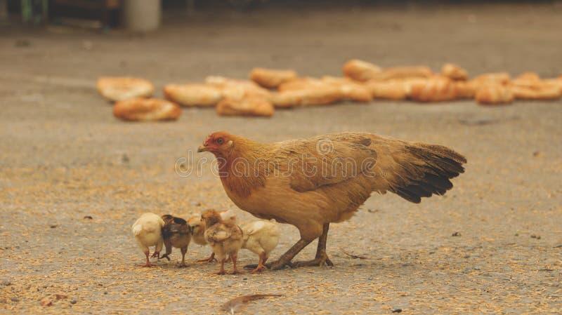 吃在具体围场-亚洲庭院的母鸡和小鸡米 库存照片