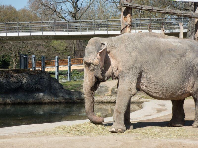 吃在动物园里的大象的特写镜头 非常哀伤的大象 库存照片