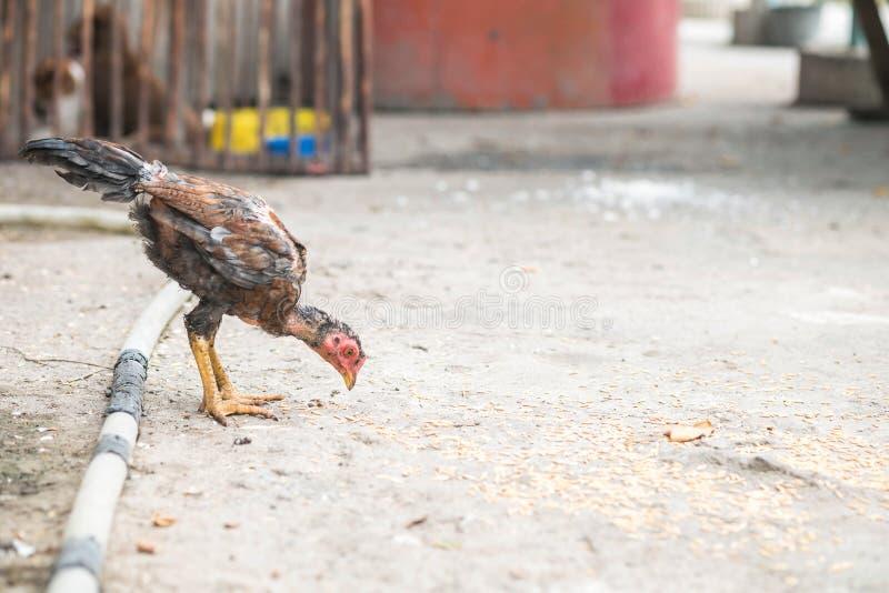吃在土壤地面背景的特写镜头稀薄的鸡稻与拷贝空间 库存图片