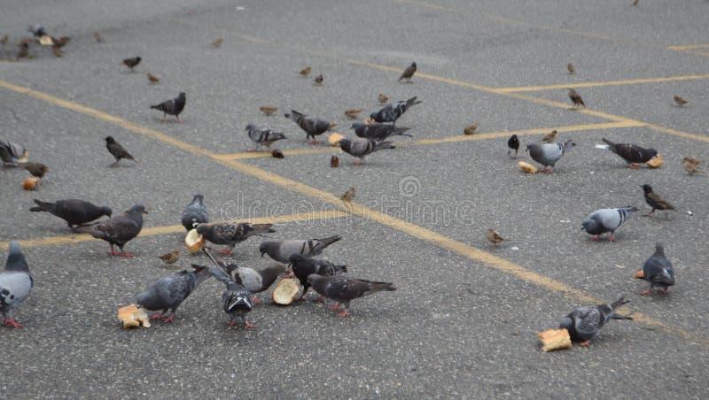 吃在城市街道上的鸽子群面包 库存图片