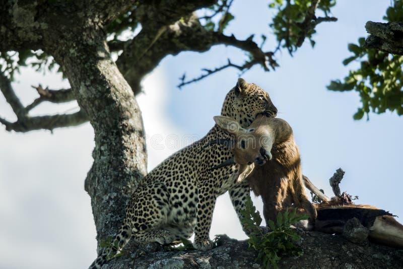 吃在塞伦盖蒂国家公园的豹子 免版税库存照片