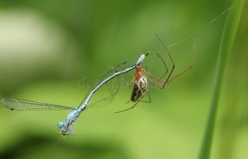 吃在它的网被捉住了的蜻蜓的长有下巴的天体织布工蜘蛛Tetragnatha sp 免版税库存照片