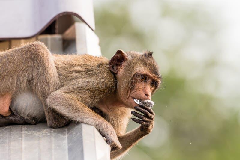 吃在屋顶的猴子 免版税库存图片