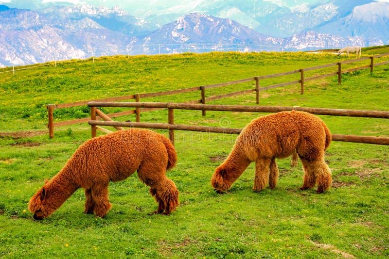 吃在山背景的两棕色骆马草  免版税图库摄影
