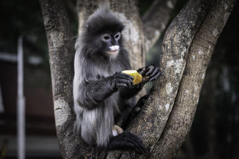 吃在树的也Colobinae灰色叶猴果子长尾的猴子 库存照片