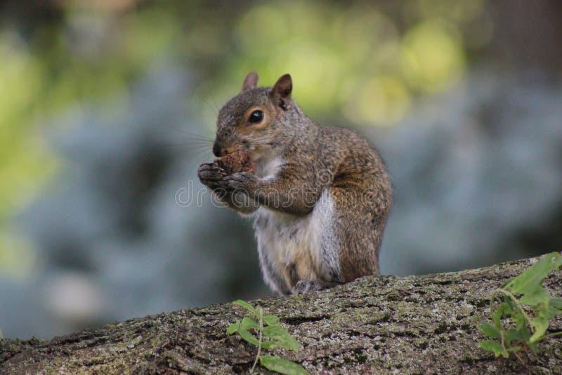 吃在树的灰鼠一枚坚果 免版税库存照片