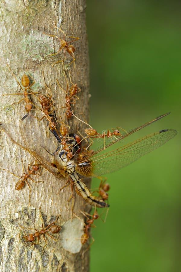 吃在树的红色蚂蚁的图象蜻蜓 敌意 免版税库存图片