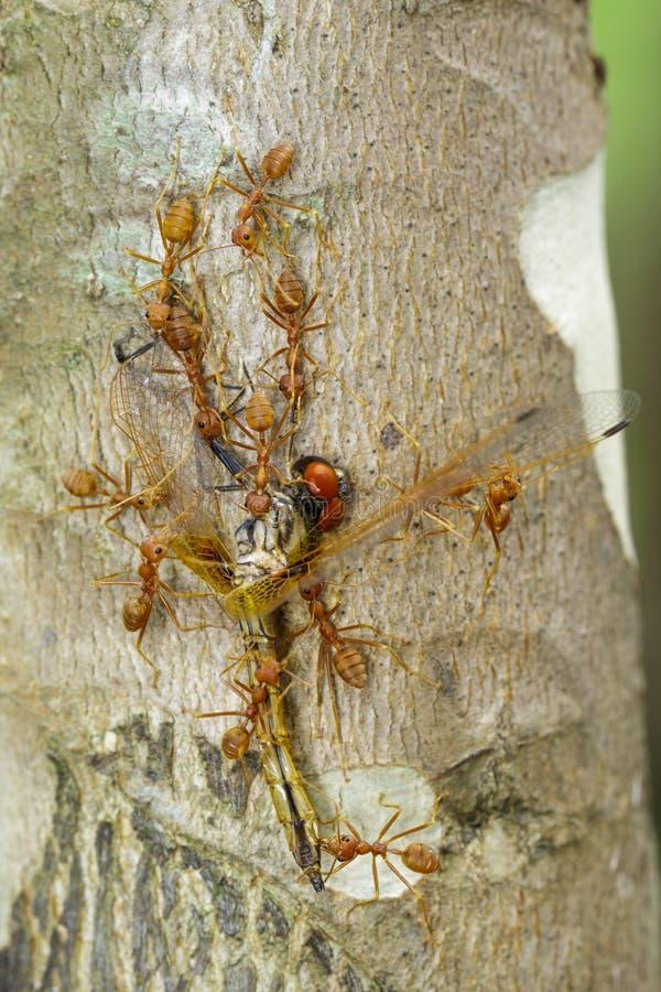 吃在树的红色蚂蚁的图象蜻蜓 敌意 免版税图库摄影