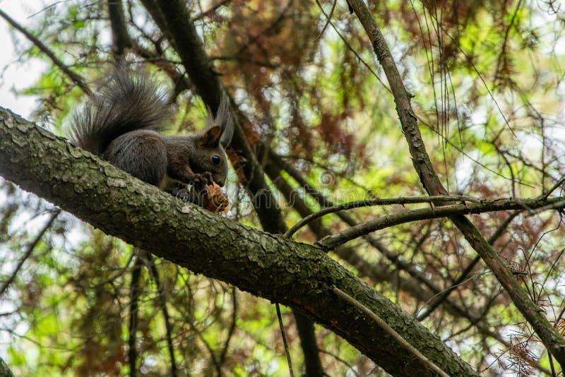 吃在树的逗人喜爱的小的灰鼠一颗榛子 免版税库存照片