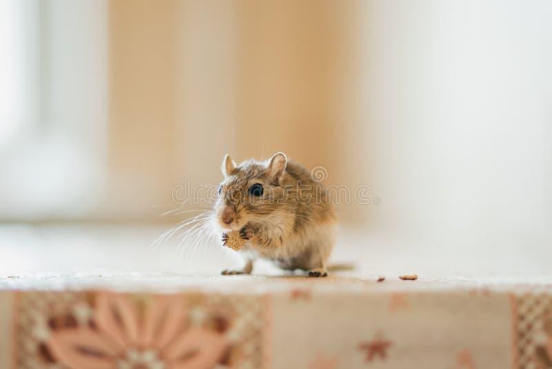 吃在桌上的沙鼠五谷 库存照片